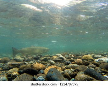 King Salmon Spawning In The Wild