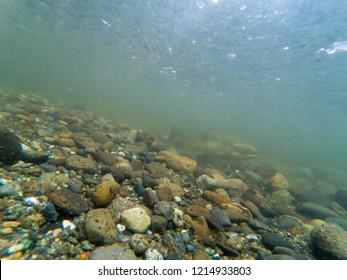 King Salmon Swimming Upstream