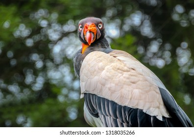 king vulture portrait with colorful face looking back. Sarcoramphus papa