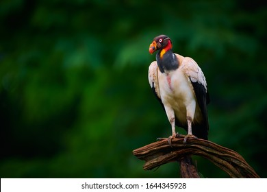 The king vulture (Sarcoramphus papa) is a large bird found in Central and South America. Wildlife scene from tropic nature of Costa Rica.