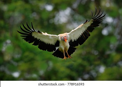King vulture, Sarcoramphus papa, large bird found in Central and South America. King vulture in flight. Flying bird, forest in the background. Wildlife scene from tropical nature. Bird with red head.