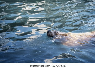 King Whiskers: Kodiak Alaska Sea Lion shows off his whiskers