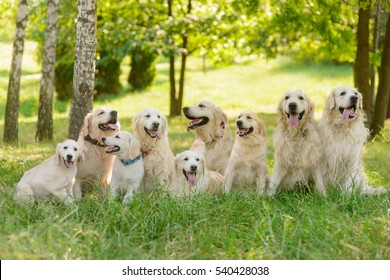 The kingdom of dogs outdoors in the forest. Long raw of beautiful golden retrievers with fluffy and soft fur. Sunny day in the park.
