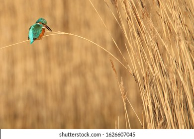 Kingfisher, Alcedo atthis,  calling with beak open whilst perched resting on a reed bent under the birds weight. On a diffuse background of a reed bed. Taken at Stanpit Marsh UK
