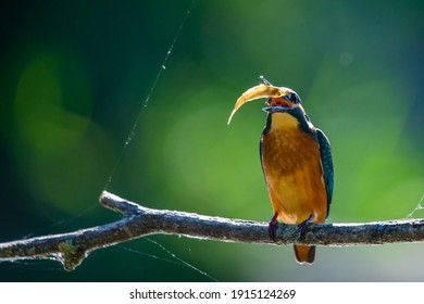 Kingfisher or Alcedo atthis perches with prey on branch.