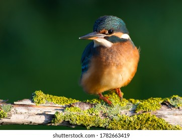 Сommon kingfisher, Alcedo atthis. Sunny day, a young bird sitting by the river on a beautiful branch, peering into the water, waiting for a fish