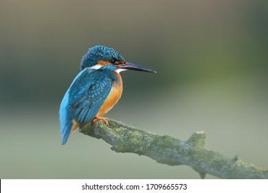 Kingfisher (Alcedo at this) common kingfisher, bird