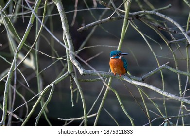 Kingfisher bird, alcedo atthis, perched on a branch