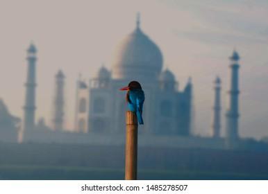 kingfisher bird is behind the tajmahal