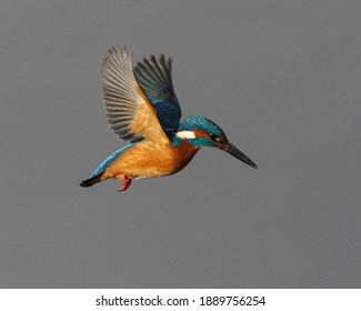 Kingfisher bird hovering for fish