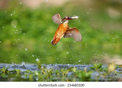 A kingfisher catch a fish