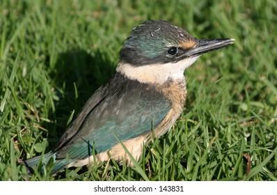 Kingfisher Chick