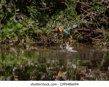 Kingfisher fleeing from the water with a fish caught between splashing water drops. Flying jewel. Common Kingfisher, Alcedo atthis