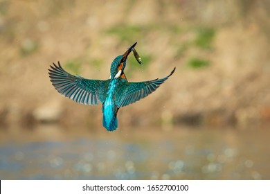 Kingfisher in flight with a fish in its beak flying towards its innkeeper