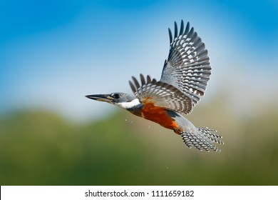 Kingfisher in fly. Flying bird Ringed Kingfisher above blue river with open bill in Brazil Pantanal. Action wildlife scene from tropic nature.