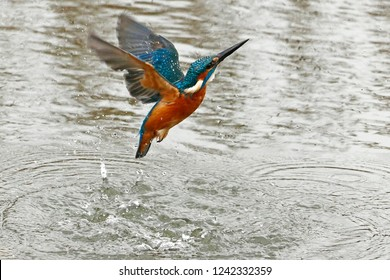 Kingfisher flying out of the water with no fish caught - unsuccesful hunting
