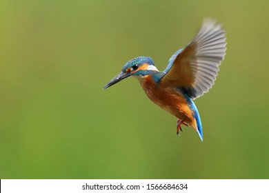 Kingfisher hovering with wings out.