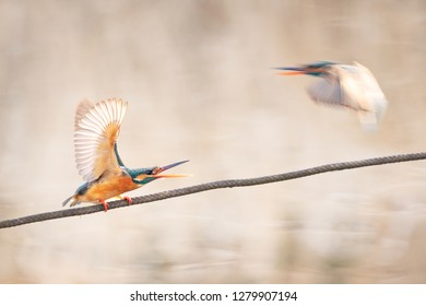 Kingfisher intimidates another bird on a rope over a pond in winter.