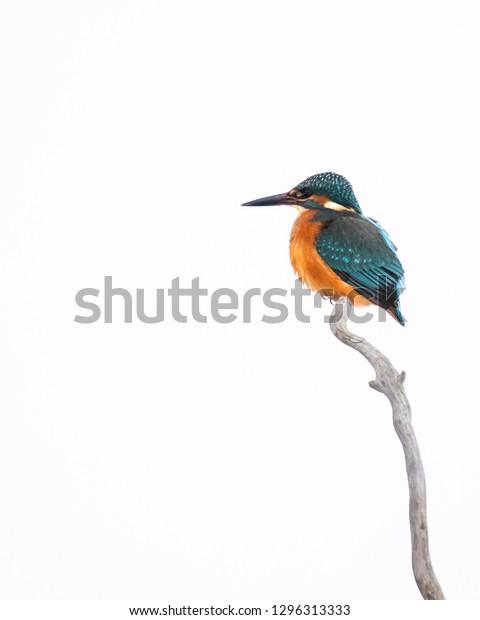kingfisher isolate white background