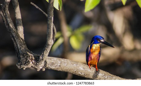 Kingfisher in Kakadu National Park, Australia