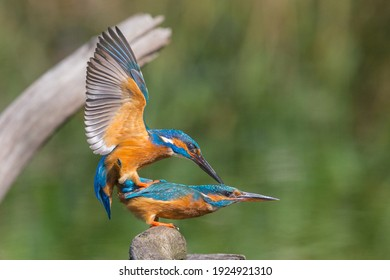 kingfisher mating on a stick with open wings with connection between male and female. Picture taken in nature (bird watch tower Veendam, the Netherlands).