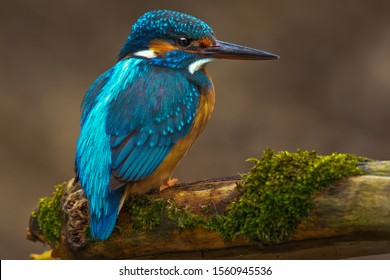 kingfisher on a branch with moss