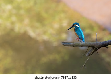 Kingfisher perching over a river, South Goa in India
