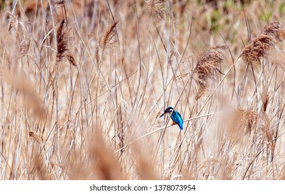 Kingfisher in reed beds