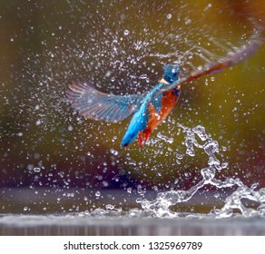 A Kingfisher surfaces from the water with a minnow in its beak