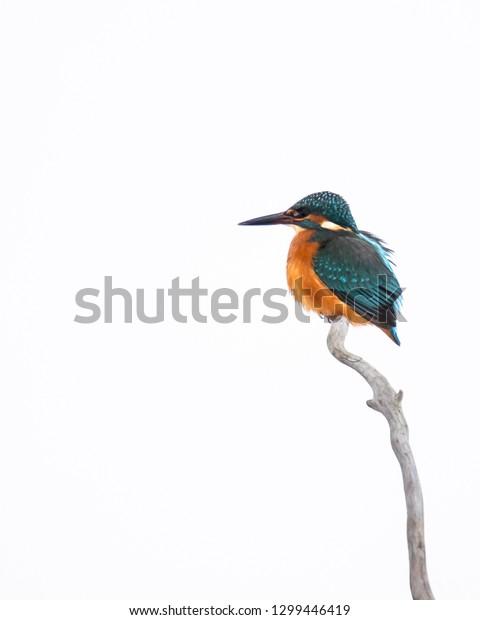 Kingfisher in Sweden
