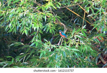 Kingfisher waiting for fish in green lush branshes by the river