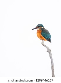 Kingfisher white background