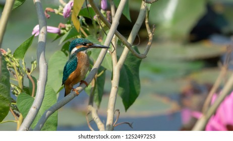 Kingfishers are found by still or slow flowing water such as lakes, canals and rivers in lowland areas.