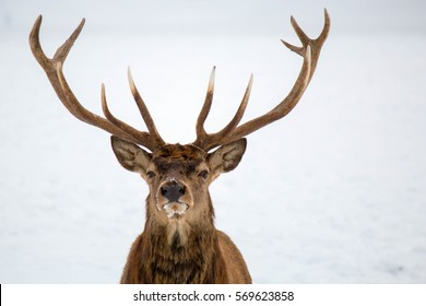 Kingly Red Deer