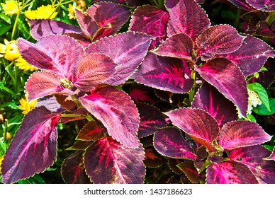 Kingswood Torch, Coleus plant, Plectranthus scutellarioides, Family: Lamiaceae. The Coleus Kingswood Torch has flaming magenta foliage. Coleus plants are durable and easy to grow.