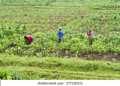 KINIHIRA, RWANDA- NOVEMBER 4: People working in a plantation on November 9, 2013.