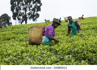 KINIHIRA, RWANDA- NOVEMBER 9: unidentified workers at a tea plantation on November 9, 2013. Tea is export item of Rwanda