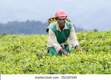KINIHIRA, RWANDA- NOVEMBER 9: unidentified worker at a tea plantation on November 9, 2013. Tea is export item of Rwanda