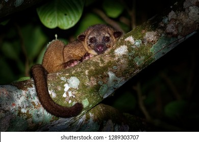 Kinkajou - Potos flavus, rainforest mammal of the family Procyonidae related to olingos, coatis, raccoons, and the ringtail and cacomistle. also known as the honey bear.