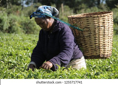 Kirinyaga/Kenya - 12/27/2017 Tea pickers picking tea at a plantation in the morning with baskets.