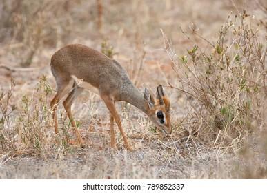 Kirk's dik-dik (Madoqua kirkii) grazing in savanna, Kenya