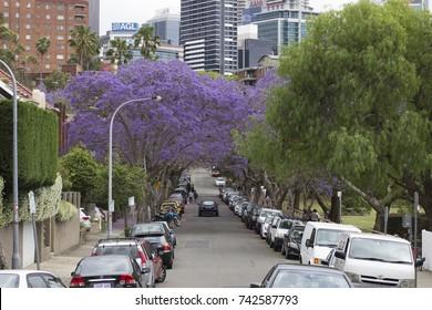 KIRRIBILLI, AUSTRALIA - OCTOBER 25, 2017: A suburban street is transformed by Jacaranda trees in full bloom.