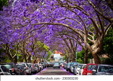 KIRRIBILLI,AUSTRALIA - NOVEMBER 13, 2014: A suburban street is transformed by Jacaranda trees in full bloom.