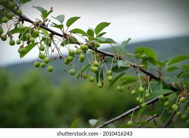 Grüne Kirschen reifen im Frühling auf dem Baum - Shutterstock ID 2010416243