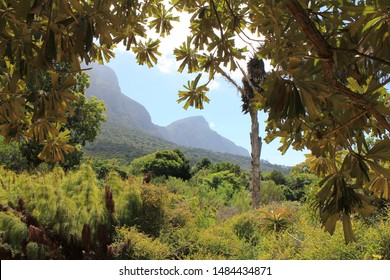 Kirstenbosch National Botanical Garden, Cape Town, South Africa: Wild lush green scenery and view of the Table mountain range in the distance. Biodiverse environment with numerous plant species.
