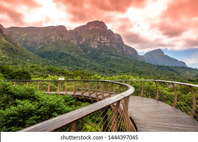 Kirstenbosch national park with Tree Canopy Walkway and table mountain  in  background , South Africa