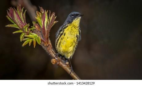 Kirtland's Warbler sitting on a branch during Spring migration.