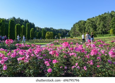 Kislovodsk, Russia - July 2017: Rose Valley in the resort park. Summer landscape with blooming roses.