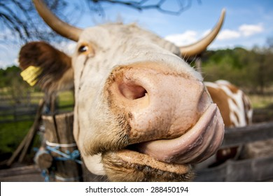 Kiss from a cow