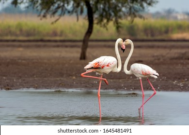 The Kiss - Flamingo couple indulging in a kissing act making a heart shape